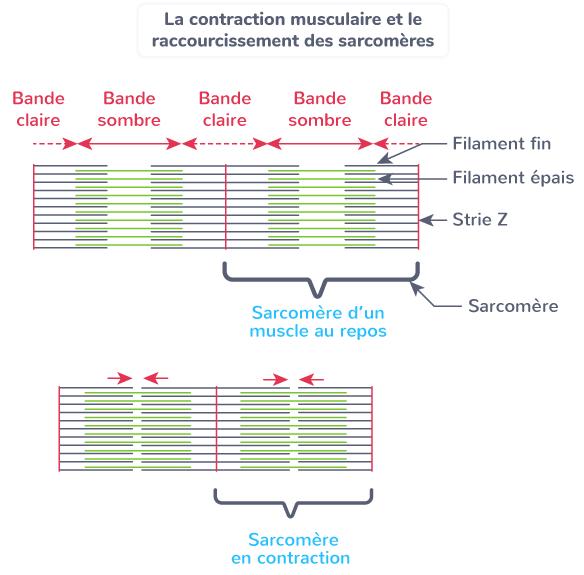 contraction musculaire raccourcissement sarcomères