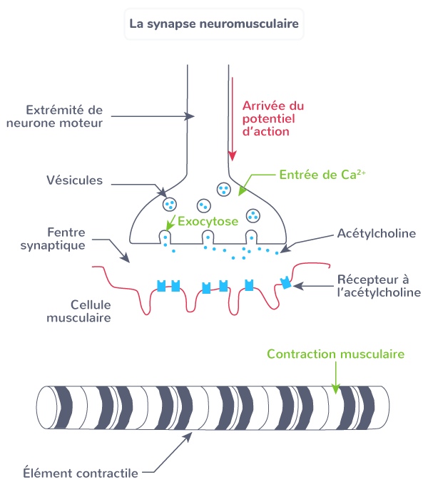 synapse neuromusculaire mouvement contraction