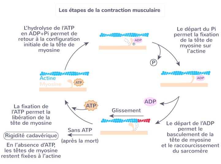 étapes contraction musculaire mouvement