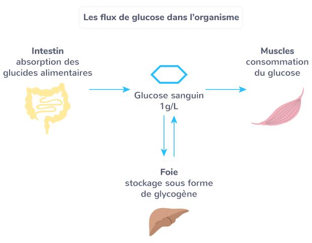 flux glucose organisme muscle foie