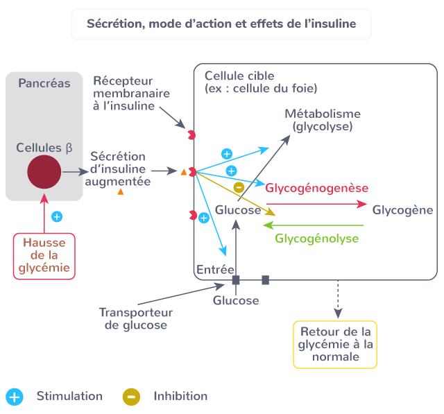 hormone insulte régulation glucose