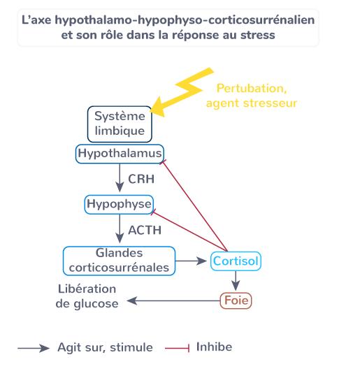 axe hypothalamo-hypophyso-corticosurrénalien rôle réponse stress