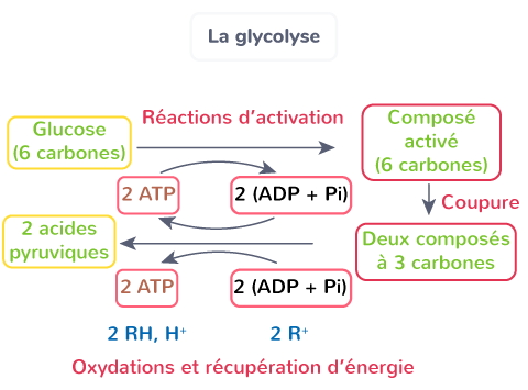 oxydation glucose glycolyse production ATP