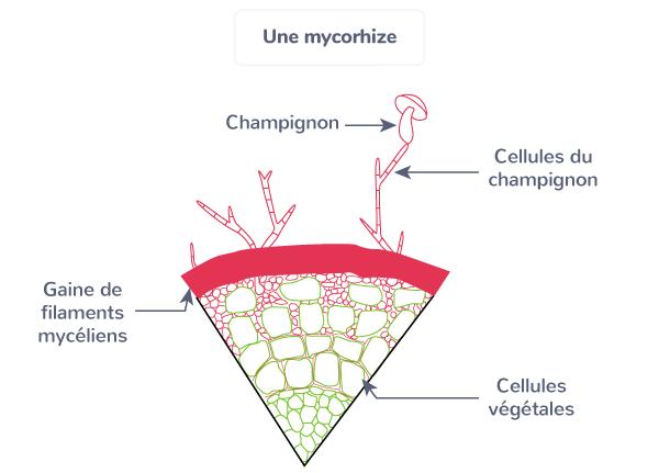 mycorhize symbiose entre champignon et végétal