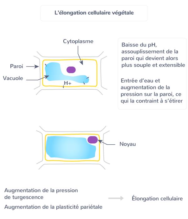 élongation cellulaire croissance longueur cellule