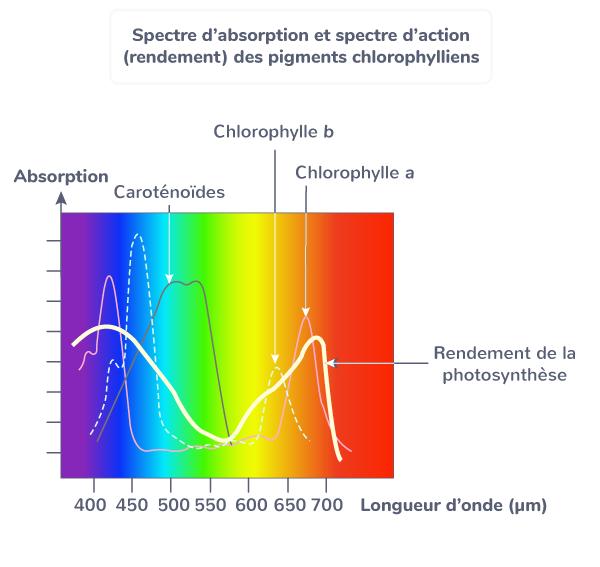 phase photosynthèse plante matière organique