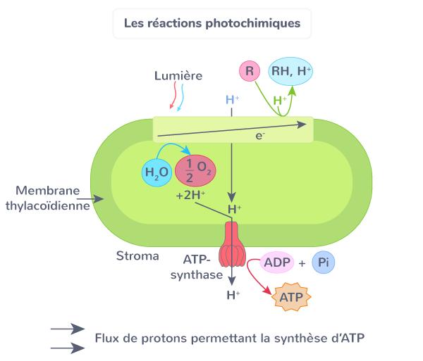 réactions photochimiques plante productrice de matière organique