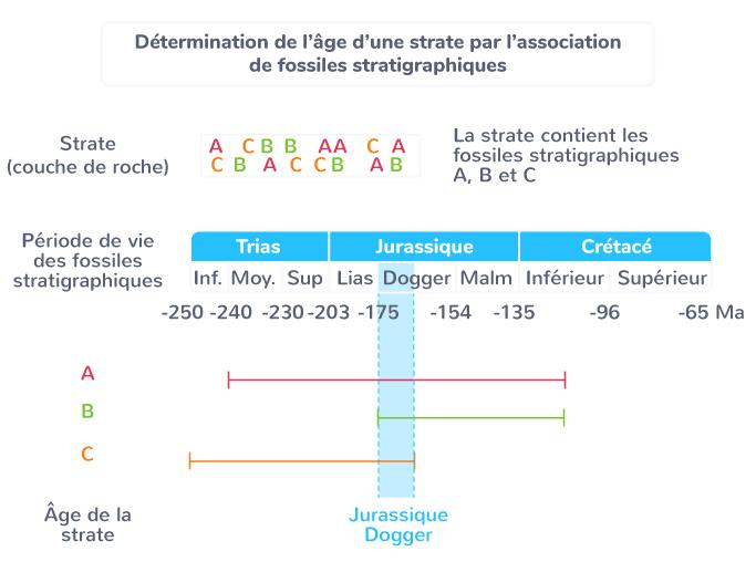 Détermination de l'âge d'une strate par l'association de fossiles stratigraphiques