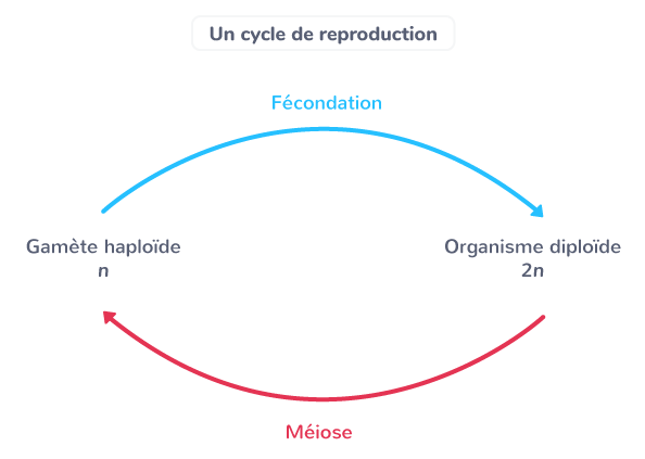 origine génotypes individus cycle reproduction