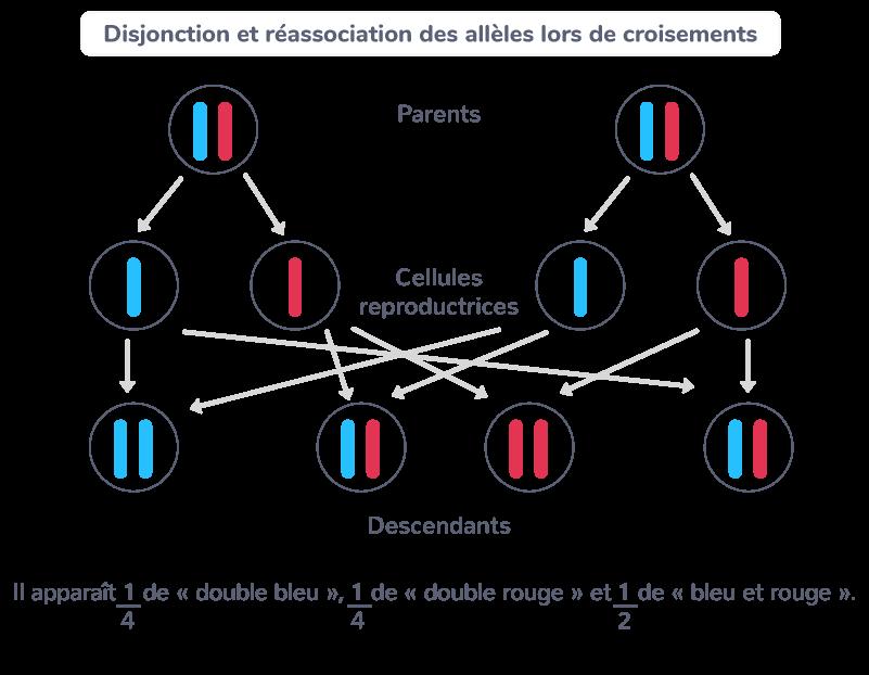 hérédité loi d'association allèles