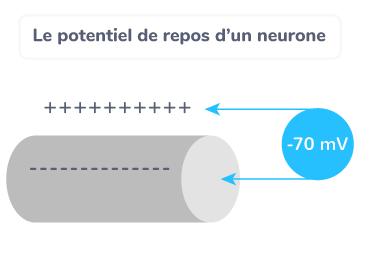 potentiel repos neurone réflexes