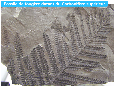 Fossile de fougère datant du Carbonifère supérieur
