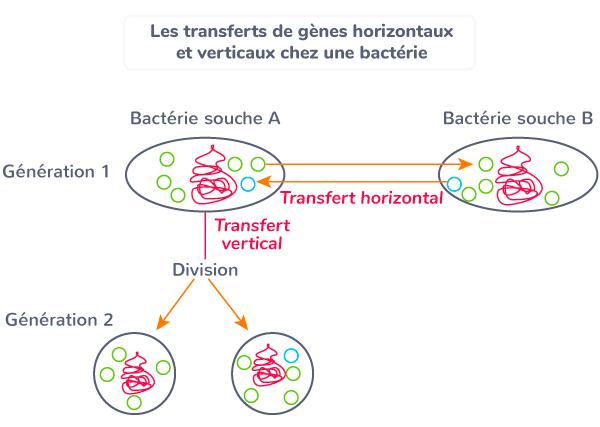 transferts gènes horizontaux verticaux