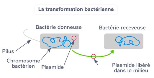 transferts horizontaux bactériens modes de transferts