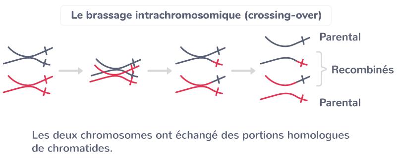 génotypes individus brassage intrachromosomique