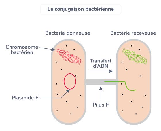 conjugaison bactérienne transfert ADN