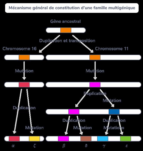 gènes famille multigénique globines