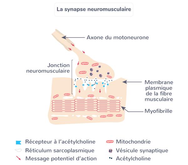 synapse neuromusculaire réflexes