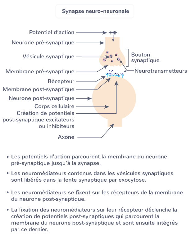 réflexes muscles synapse