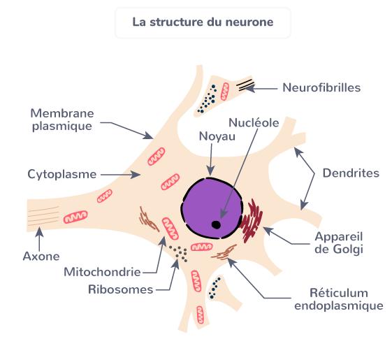 structure neurone réflexes