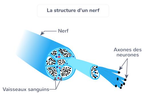structure nerf réflexes message nerveux