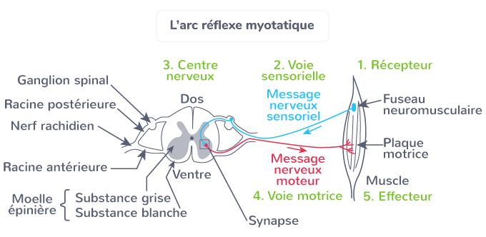 arc réflexe myotatique