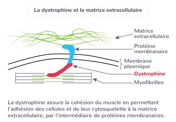 myopathie Duchenne dystrophine