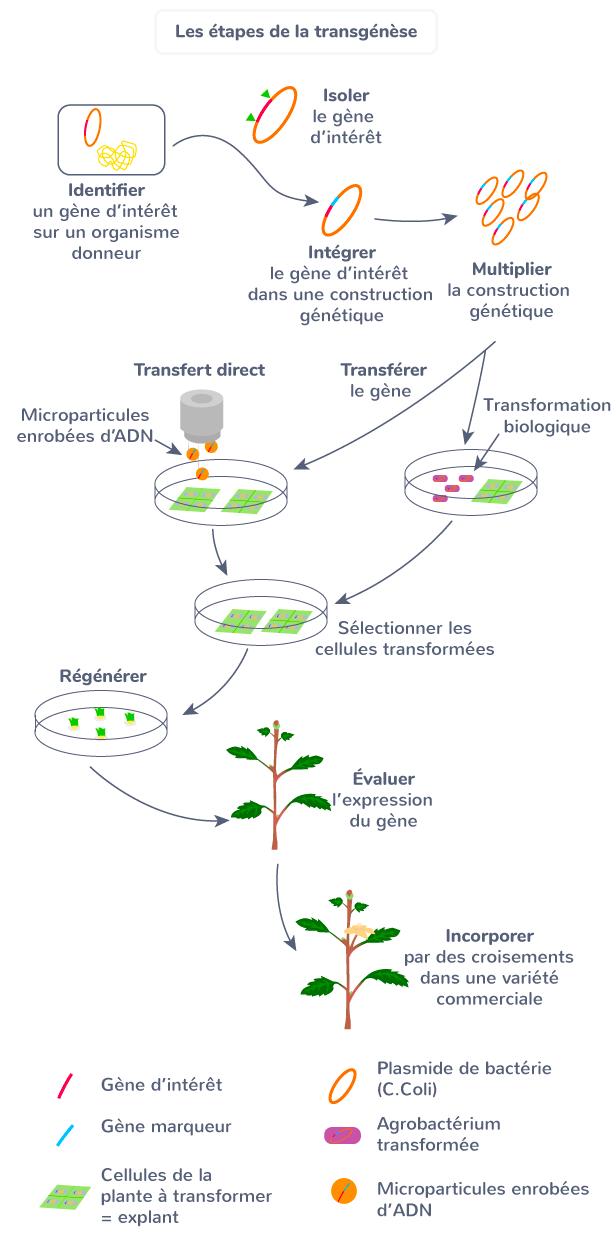 Les étapes de la transgénèse