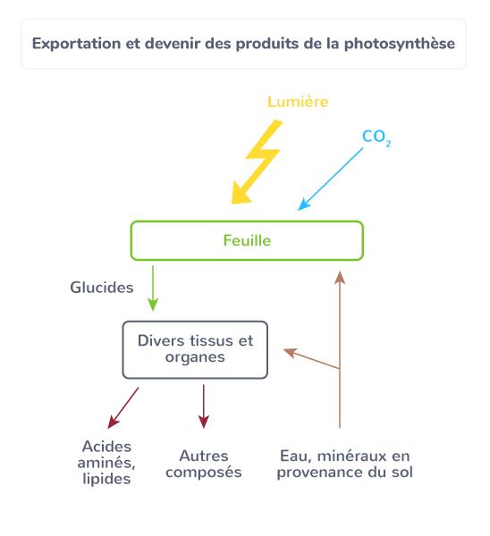produits photosynthèse exportation devenir plante
