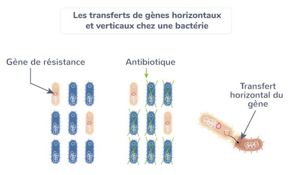 résistance antibiotiques transferts santé