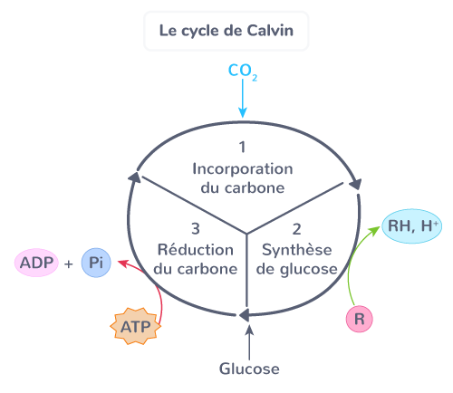 phases photosynthèse cycle Calvin