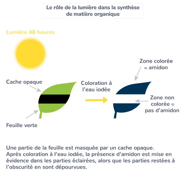 plante productrice matière organique lumière