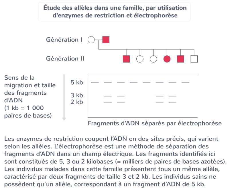génotype individus hérédité