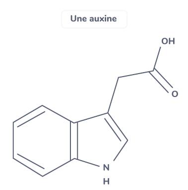 auxine hormone végétale