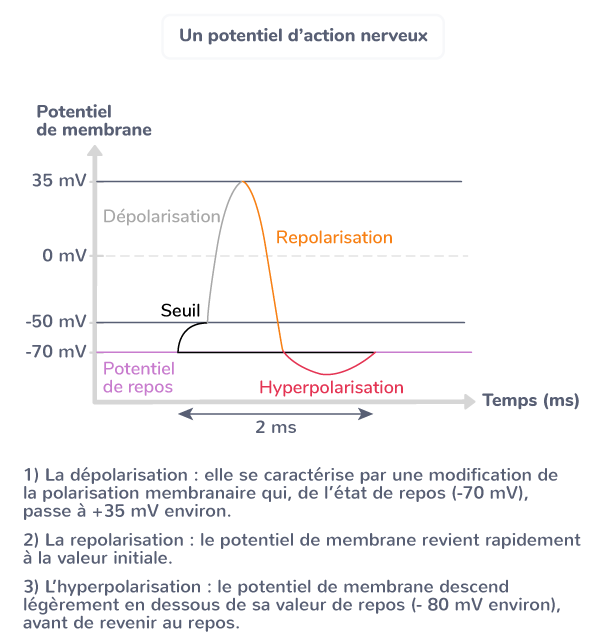 potentiel action nerveux réflexes