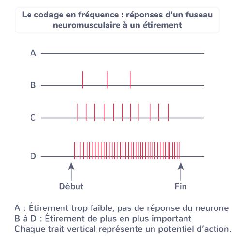 codage électrique fréquence réflexes