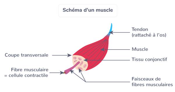 schéma muscle produire mouvement