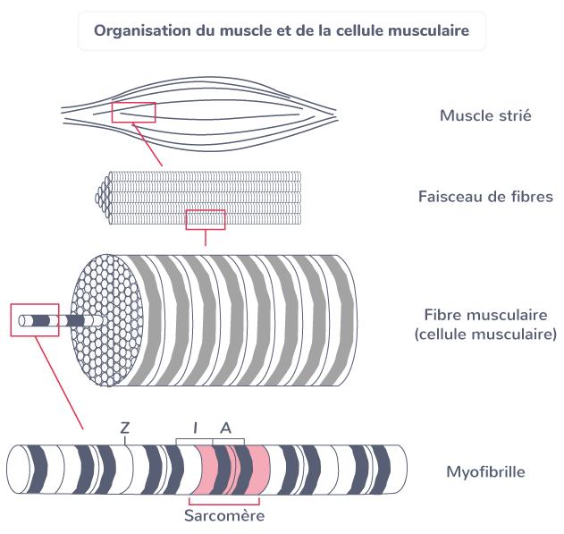 sarcomère organisation muscle cellule musculaire