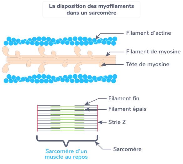 striation disposition sarcomère myofilaments
