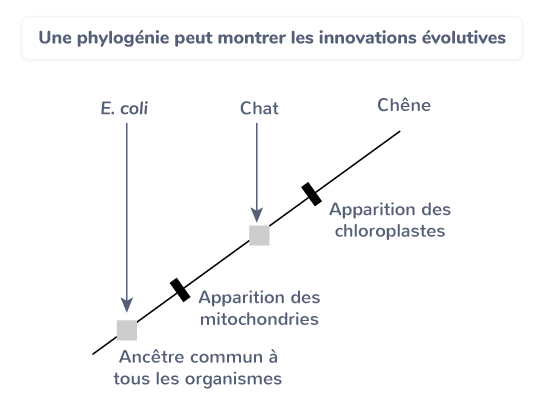 Une phylogénie peut montrer les innovations évolutives