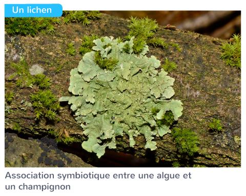 association symbiotique litchen