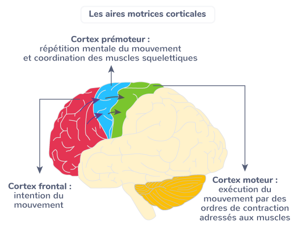 aires frontales cerveau impliquées commande volontaire mouvement