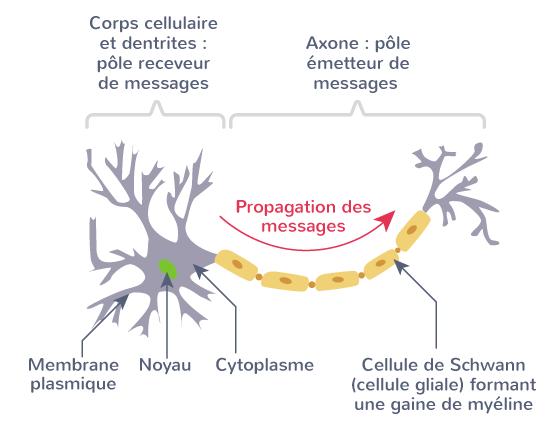 neurones cellules gliales cellules spécialisées
