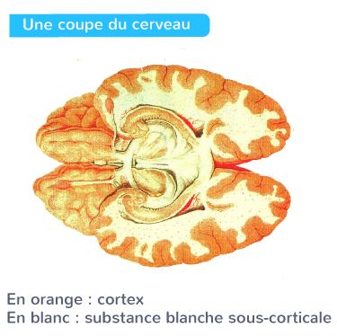 partie superficielle cerveau substance grise cortex cérébral