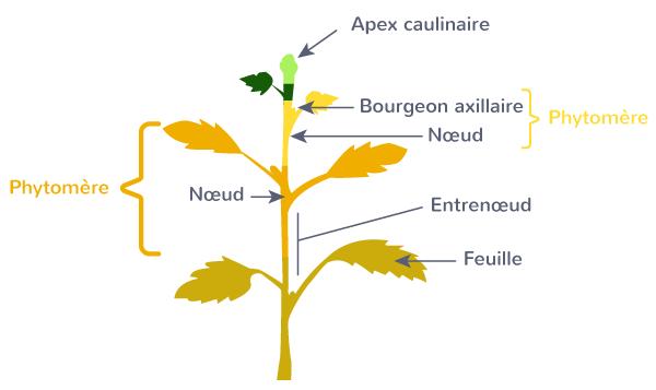 phytomère unité structurale plante