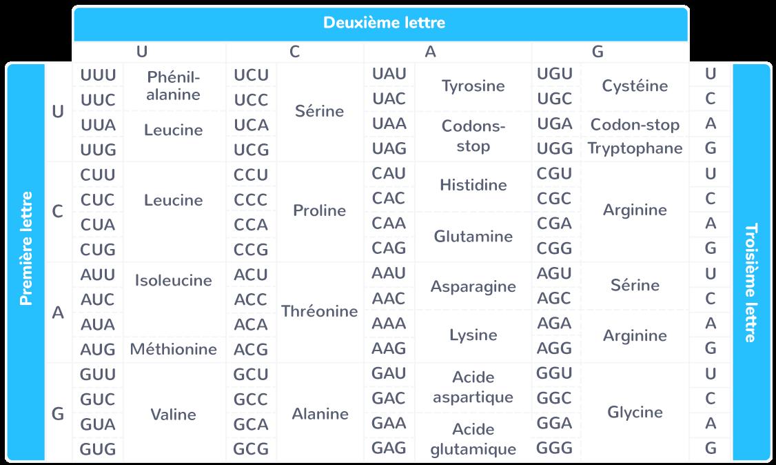 Tableau du code génétique en termes d'ARNm