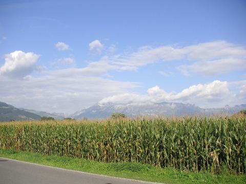 Un champ de maïs cultivé