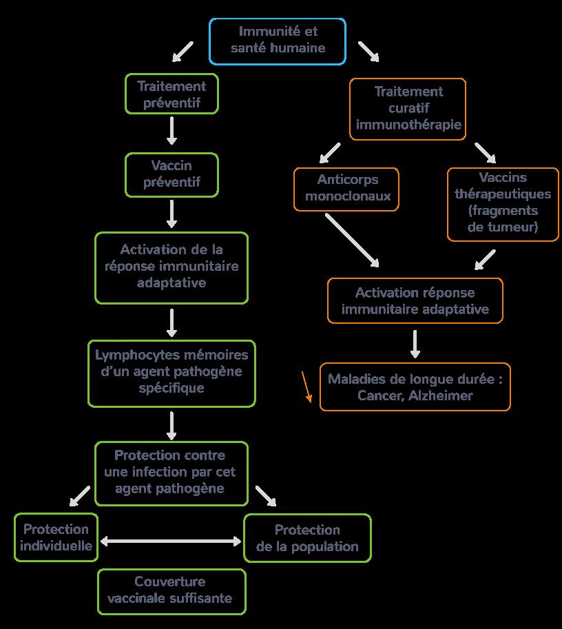 schéma synthèse utilisation immunité adaptative