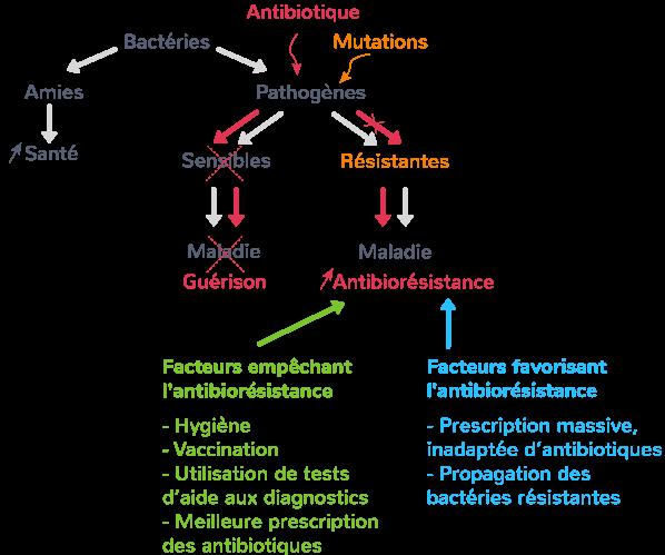 variation génétique bactérienne résistance antibiotiques