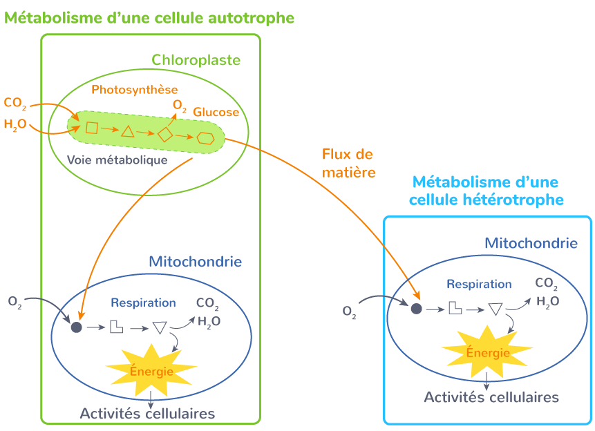 métabolisme cellules